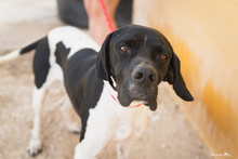 ALBERTO, Hund, Pointer in Spanien - Bild 14