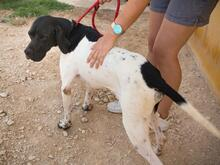 ALBERTO, Hund, Pointer in Spanien - Bild 15