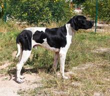 ALBERTO, Hund, Pointer in Spanien - Bild 5