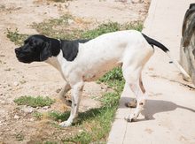 ALBERTO, Hund, Pointer in Spanien - Bild 8