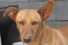 BILLY, Hund, Podenco in Spanien - Bild 1