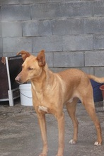 BILLY, Hund, Podenco in Spanien - Bild 2