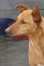 BILLY, Hund, Podenco in Spanien - Bild 4