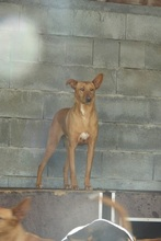 BILLY, Hund, Podenco in Spanien - Bild 5