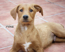 MIKE, Hund, Labrador-Mix in Spanien - Bild 1