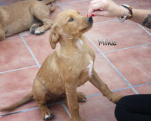MIKE, Hund, Labrador-Mix in Spanien - Bild 2