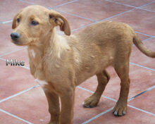 MIKE, Hund, Labrador-Mix in Spanien - Bild 3