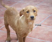 MIKE, Hund, Labrador-Mix in Spanien - Bild 4