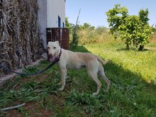 KELLY, Hund, Podenco in Spanien - Bild 5