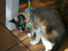 SIRO, Katze, Snow Shoe Cat in Kirkel - Bild 14