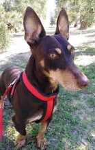 VIOLIN, Hund, Podenco Andaluz-Mix in Spanien - Bild 1