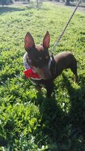 VIOLIN, Hund, Podenco Andaluz-Mix in Spanien - Bild 14