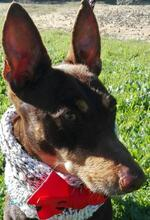VIOLIN, Hund, Podenco Andaluz-Mix in Spanien - Bild 15