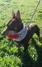 VIOLIN, Hund, Podenco Andaluz-Mix in Spanien - Bild 16