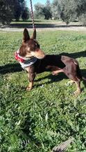 VIOLIN, Hund, Podenco Andaluz-Mix in Spanien - Bild 17