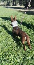 VIOLIN, Hund, Podenco Andaluz-Mix in Spanien - Bild 18