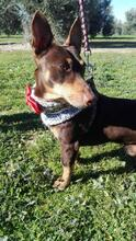 VIOLIN, Hund, Podenco Andaluz-Mix in Spanien - Bild 19