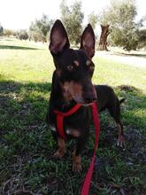 VIOLIN, Hund, Podenco Andaluz-Mix in Spanien - Bild 2