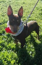VIOLIN, Hund, Podenco Andaluz-Mix in Spanien - Bild 20