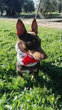 VIOLIN, Hund, Podenco Andaluz-Mix in Spanien - Bild 21