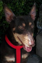 VIOLIN, Hund, Podenco Andaluz-Mix in Spanien - Bild 24