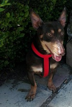 VIOLIN, Hund, Podenco Andaluz-Mix in Spanien - Bild 27