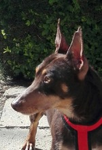 VIOLIN, Hund, Podenco Andaluz-Mix in Spanien - Bild 28