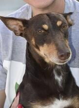 VIOLIN, Hund, Podenco Andaluz-Mix in Spanien - Bild 3