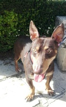 VIOLIN, Hund, Podenco Andaluz-Mix in Spanien - Bild 31