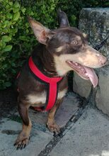 VIOLIN, Hund, Podenco Andaluz-Mix in Spanien - Bild 32