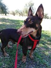 VIOLIN, Hund, Podenco Andaluz-Mix in Spanien - Bild 4