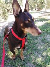 VIOLIN, Hund, Podenco Andaluz-Mix in Spanien - Bild 5
