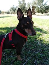 VIOLIN, Hund, Podenco Andaluz-Mix in Spanien - Bild 6