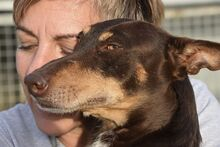 VIOLIN, Hund, Podenco Andaluz-Mix in Spanien - Bild 8