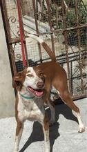 LETTIE, Hund, Podenco-Mix in Spanien - Bild 3