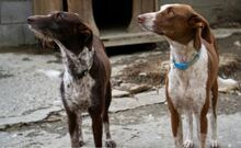 LETTIE, Hund, Podenco-Mix in Spanien - Bild 6
