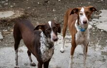 LETTIE, Hund, Podenco-Mix in Spanien - Bild 7