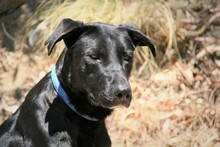 MORGAN, Hund, Labrador-Mix in Spanien - Bild 1