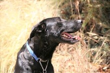 MORGAN, Hund, Labrador-Mix in Spanien - Bild 12