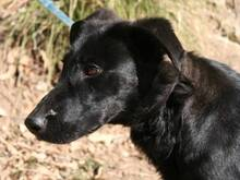 MORGAN, Hund, Labrador-Mix in Spanien - Bild 13