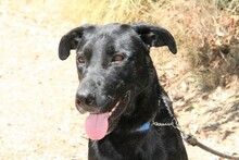 MORGAN, Hund, Labrador-Mix in Spanien - Bild 2