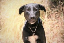 MORGAN, Hund, Labrador-Mix in Spanien - Bild 3