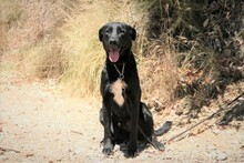 MORGAN, Hund, Labrador-Mix in Spanien - Bild 9