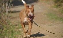 MACY, Hund, Podenco-Mix in Spanien - Bild 3