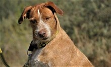 MACY, Hund, Podenco-Mix in Spanien - Bild 7
