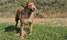 MACY, Hund, Podenco-Mix in Spanien - Bild 8