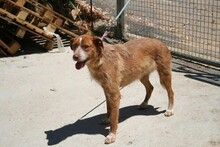 MACY, Hund, Podenco-Mix in Spanien - Bild 9