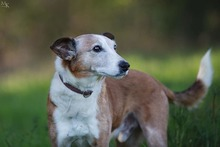PICASSO, Hund, Whippet-Mix in Portugal - Bild 1