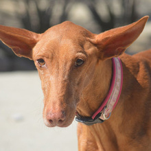 CELTA, Hund, Podenco-Mix in Spanien - Bild 1