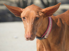 CELTA, Hund, Podenco-Mix in Spanien - Bild 11